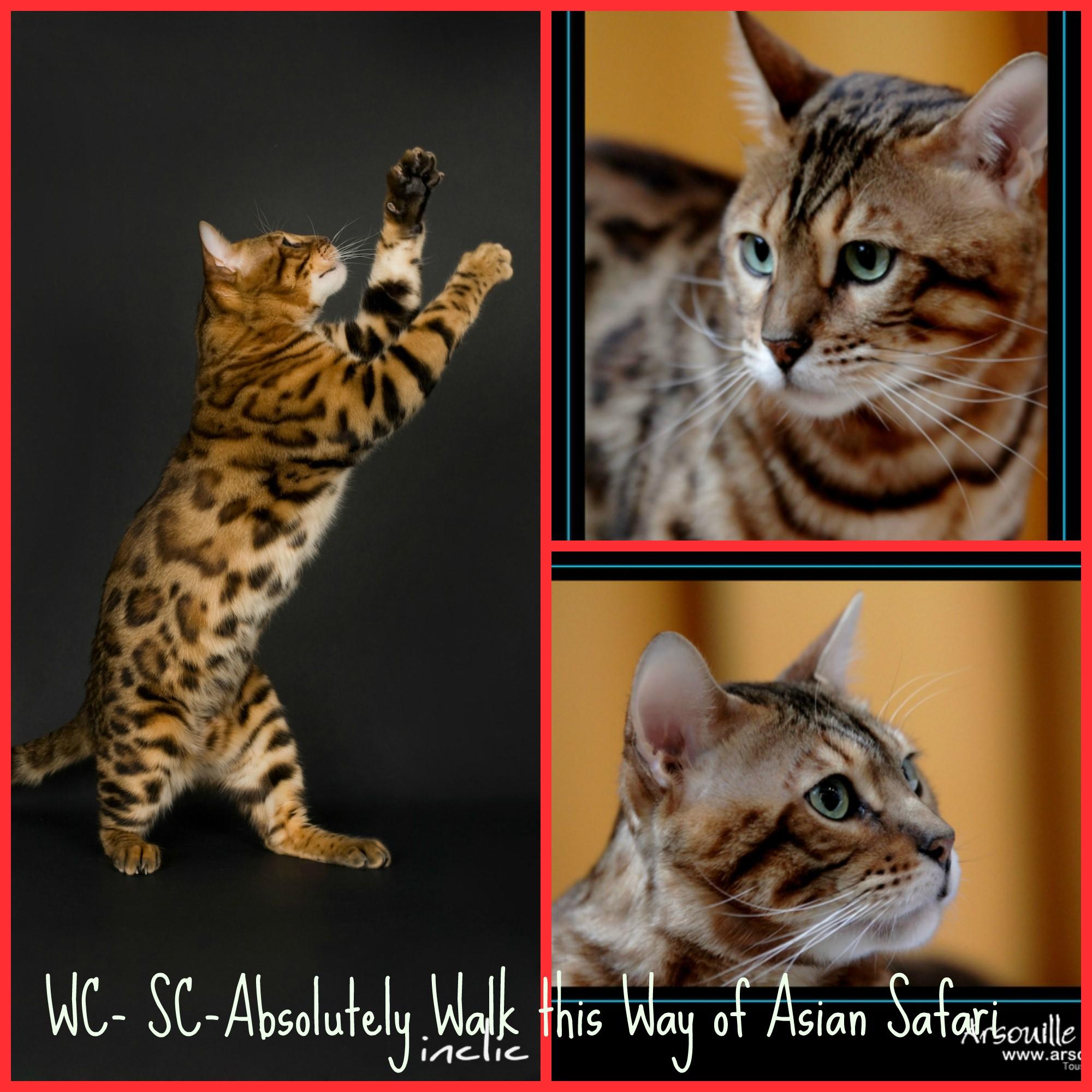 Bengal cat history | Asian Safari